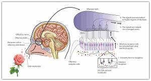 درمان حس بویایی با دارو